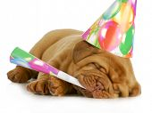 birthday pupp - dogue de bordeaux puppy blowing on horn and wearing birthday hat isolated on white background poster
