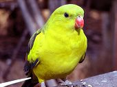 This is a close up of a regent parrot poster