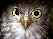 This is a close up of a barking owl poster