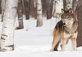 Grey Wolf (Canis lupus) Stands Between Trees - captive animal poster