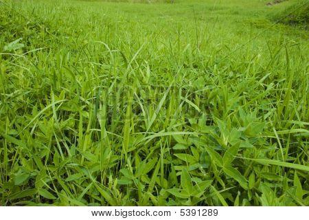 Differring Herb