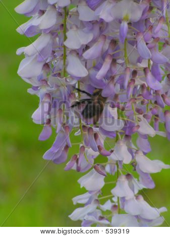 Bumble Bee Of Wisteria Flower