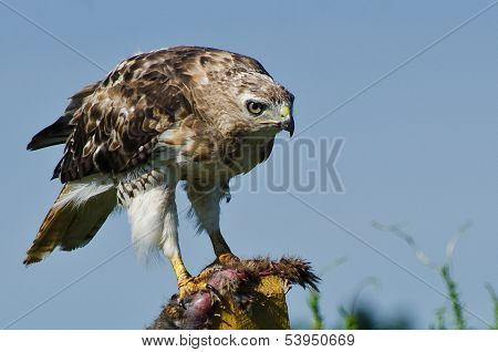 A Red-Tailed Hawk Sitting on Fence With Captured Prey poster
