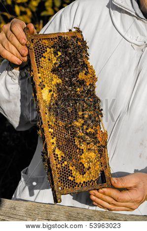 Beekeeper Showing Honeycomb Frame