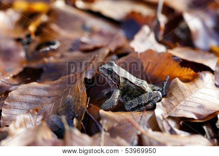 Common toad - leaves