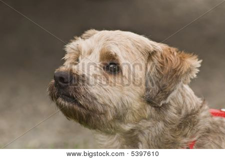 Cairn terrier mix dog profile in front of grey background