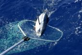 Blue fin tuna Mediterranean big game fishing and release poster