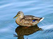 Mallard duck drake on a blue water taken closeup. poster