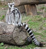 Ring tailed lemur family, zoo, Vienna poster