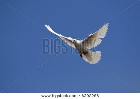White Pigeon (columba Livia F. Domestica)