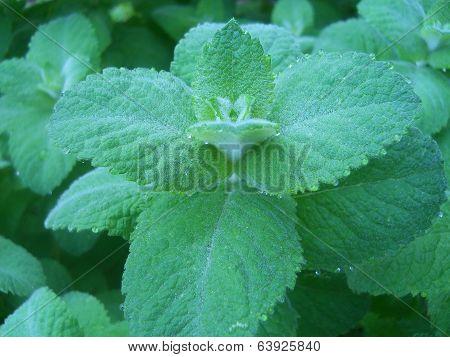 Applemint Herb