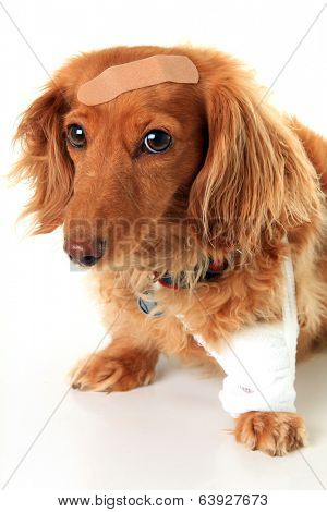 Dachshund dog wearing a bandage and band-aid. poster