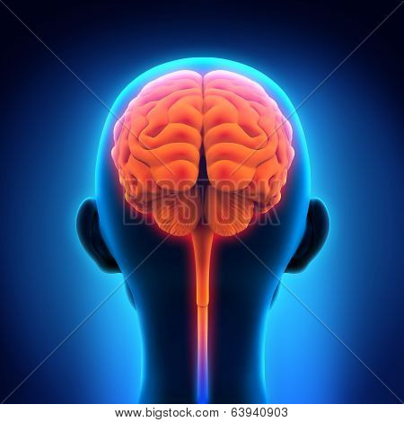 Illustration of Human Brain Anatomy. 3D render poster