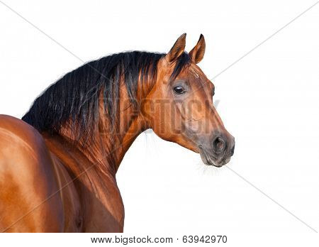 Chestnut horse head isolated on white background, Arabian horse.