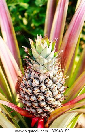 Fresh Tropical Pineapple Planting In Farm