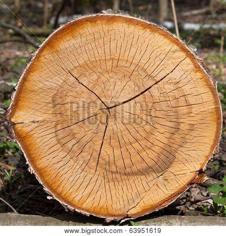 Dry Logs Of Birch Tree