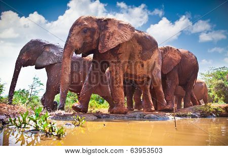 Herd of elephants pass by river in Kenya. Afrika.