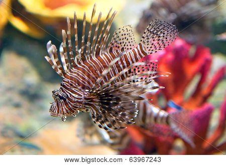Red lionfish (Pterois volitans) aquarium fish, a venomous coral reef fish