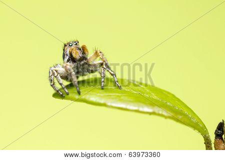 Portrait of a jumping zebra spider