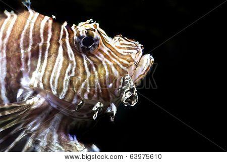 Lion Fish, Pterois Volitans