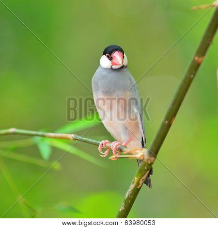 Java Sparrow Bird