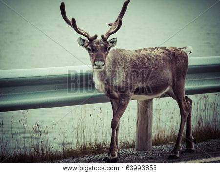 Reindeer stag with exceptionally long antlers.Scandinavia . poster