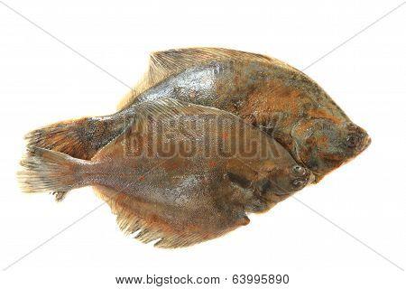 Flatfishes Isolated