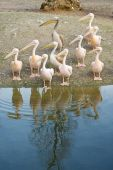 Pelicans Along the Shore of a Lake poster