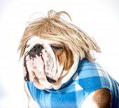 english bulldog wearing blue coat and blonde wig poster