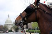 A Clydesdale stands in the shadow of the US Capitol in Washington, DC. poster