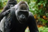Gorilla baby climbed on mother's back ready for a piggyback ride poster