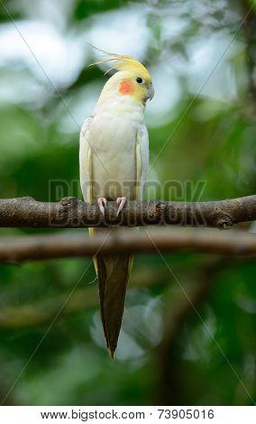 Lutino Mutation Cockatiel (nymphicus Hollandicus)