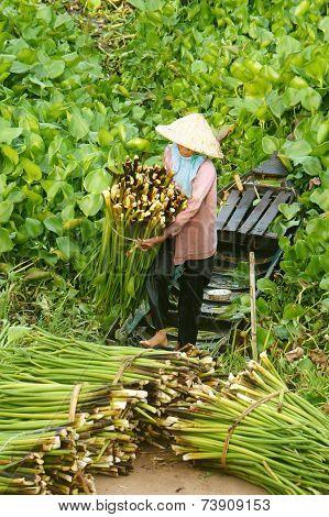 Asian Farmer Harvest Water Hyacith