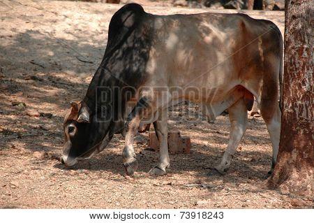 Cattle, Brahma (Bos primigenius indicus)