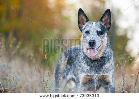 Portrait Of Australian Cattle Dog
