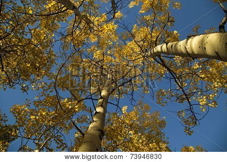 Looking Up At A Blue Sky And Yellow Autumn Quaking Aspen Trees