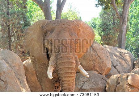 Elephant Flapping Its Ears