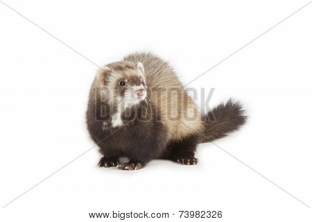 Young Ferret