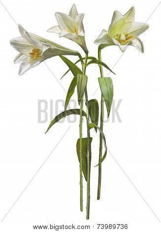 Drawing of white Madonna Lily flowers