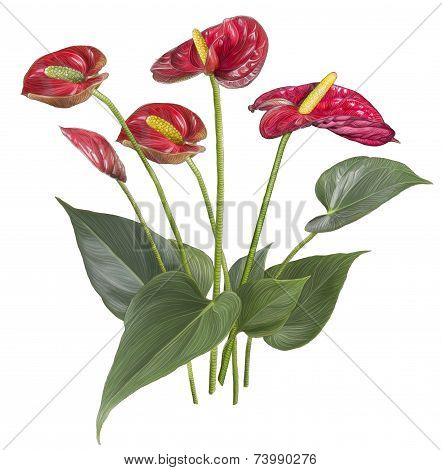 Drawing of Red Anthurium flower