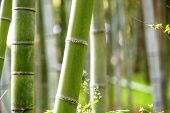 The Bamboo Grove in Arashiyama for adv or others purpose use poster