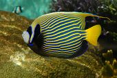 A bright tropical fish with stripes (Emperor Angelfish - Pomacanthidae) poster