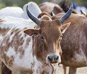 Brahman (or Zebu) bulls get prepared for bull jumping ceremony. Omo Valley Ethiopia. poster