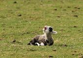 A very young spring lamb calling for his mum poster