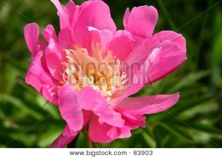 Pink And White Peony