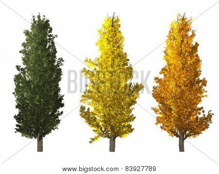 Populus Tree Isolated On White