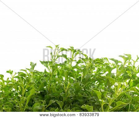 Group Of Watercress - Healthy Vegetable Isolated On White