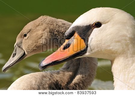 Family swan - mother and daughter