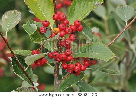 Grey-leaved Whitebeam Berries