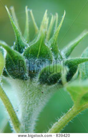sunflowerbud